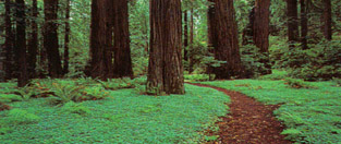 Take a walk in a redwood forest...